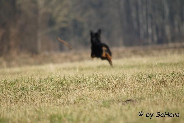 Hund rennt Stock hinterher